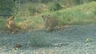 Tr�s filhotes de le�o de subesp�cie em extin��o s�o apresentados na Fran�a