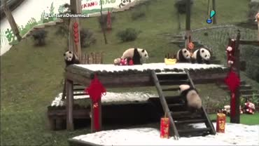 Seis beb�s panda s�o apresentados ao p�blico na China