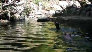 Porquinho salva filhote de cabra de afogamento