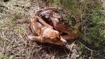 """Filhote de cervo é sacrificado após ser """"resgatado"""" por dupla"""