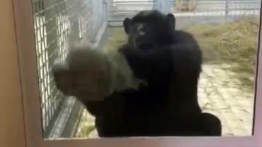 Chimpanzé mantém cercado de zoológico limpo com faxina diária