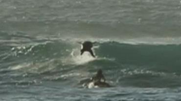 "Golfinho ultrapassa surfista e ""rouba onda"" na Austrália"