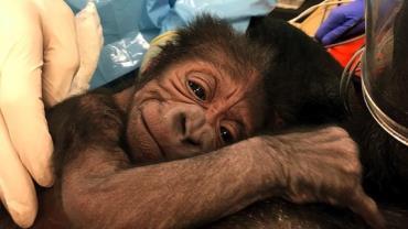 Médicos e veterinários se unem para realizar parto de gorila que teve complicações