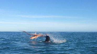 Fotos registram batalha incrível entre foca e polvo na Nova Zelândia