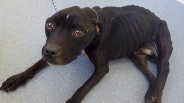 """Cachorro é deixado faminto e a beira da morte após dono """"trabalhar demais"""""""