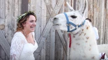 """Noiva é surpreendida por """"invasão"""" de lhamas no dia do casamento"""