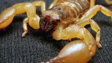 Jovem é picado por escorpião enquanto dormia em Santa Catarina