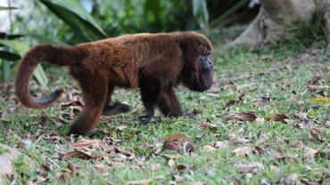 Secretaria confirma a morte de 67 macacos bugios pela febre amarela