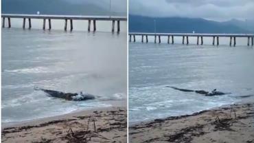 Vídeo flagra crocodilo devorando carcaça de peixe em praia na Austrália
