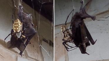 Mulher flagra aranha capturando morcego em teia gigante