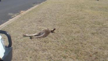 'Massacre' deixa pelo menos vinte cangurus mortos na Austrália