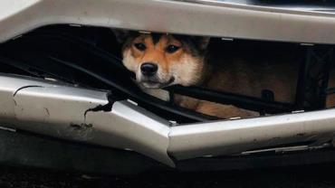 Cachorro é atropelado e viaja 25 km preso no para-choque de carro