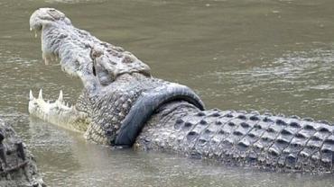 Indonésia: governo oferece recompensa para quem livrar crocodilo com pneu preso no pescoço