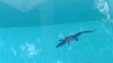 Jacaré é resgatado em piscina no Distrito Federal; fotos