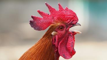 Cidade usa esterco de galinha para previnir aumento do coronavírus