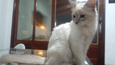Brasil registra primeiro caso confirmado de gato com Covid-19
