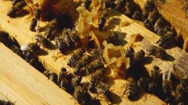 Produção de mel na Sibéria: apicultores celebram sucesso com as abelhas