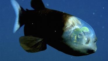 O peculiar peixe da cabeça transparente