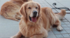 Cachorros são treinados para identificar infectados no Chile