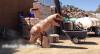 Dino: Galera assusta com o Dinossauro inflável