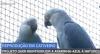 Projeto quer reintroduzir a ararinha-azul à natureza