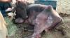 """""""Nossa luta é contra o tempo"""", diz voluntária sobre animais no Pantanal"""