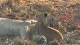 V�deo mostra abra�o de leoa e filhote na �frica do Sul