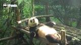 Panda � flagrado fazendo abdominais em parque na China