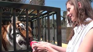 Modelo alimenta tigre-de-bengala