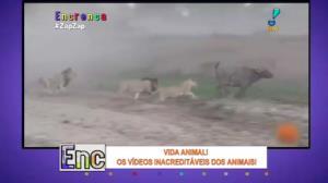 Leoa vira 'heroína' ao interromper caçada e salvar búfalo
