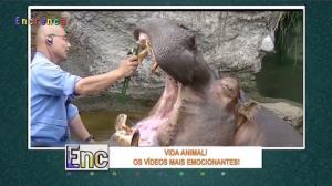 Funcionário de zoológico escova os dentes de hipopótamo