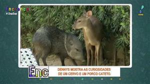 Dennys mostra as curiosidades de um cervo e de um porco cateto