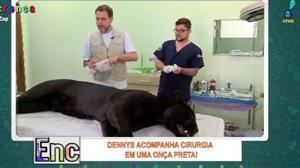 Dennys acompanha de perto uma cirurgia em uma onça preta