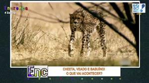 Perseguição de Cheeta termina de maneira surpreendente