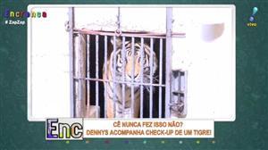 Dennys acompanha check-up de um tigre
