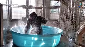 Gorila dá show ao dançar em piscina nos EUA