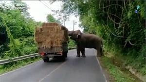 Elefante 'rouba' feno de caminhão e desmonta pick-up na Tailândia