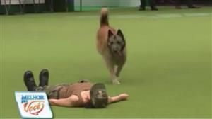 Treinadora ensina pastor belga a fazer massagem cardíaca