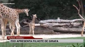 Zoo do Texas apresenta filhote de girafa
