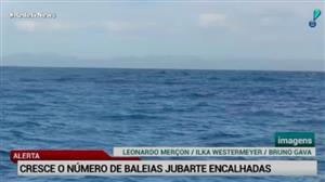 Brasil tem o maior número de baleias jubartes encalhadas em cinco anos