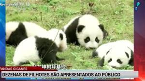 Dezenas de filhotes de pandas aparecem pela 1ª vez ao público na China