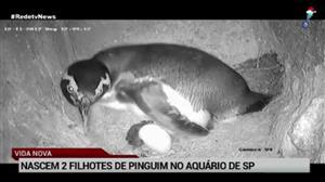 Nascem dois filhotes de pinguim no aquário de SP