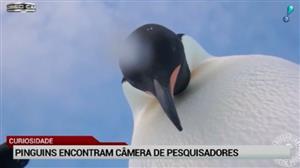 Xeretas? Pinguins encontram câmeras de pesquisadores