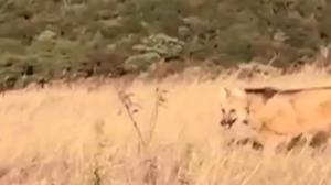 Família de lobo-guará escapa de incêndio em Minas Gerais