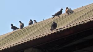 Mortes por doenças do pombo em São Paulo acende alerta