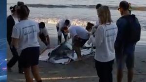 Banhistas resgatam golfinho em uma praia de Ubatuba