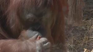 Conheça a história da orangotango Sandra, que se tornou uma 'pessoa'