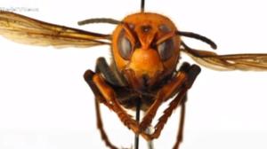 """EUA enfrentam invasão de """"vespas assassinas"""""""