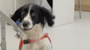 Cachorros serão treinados para detectar o novo coronavírus