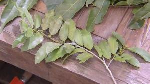 Plantas medicinais: espinheira santa trata problema de estômago e intestino